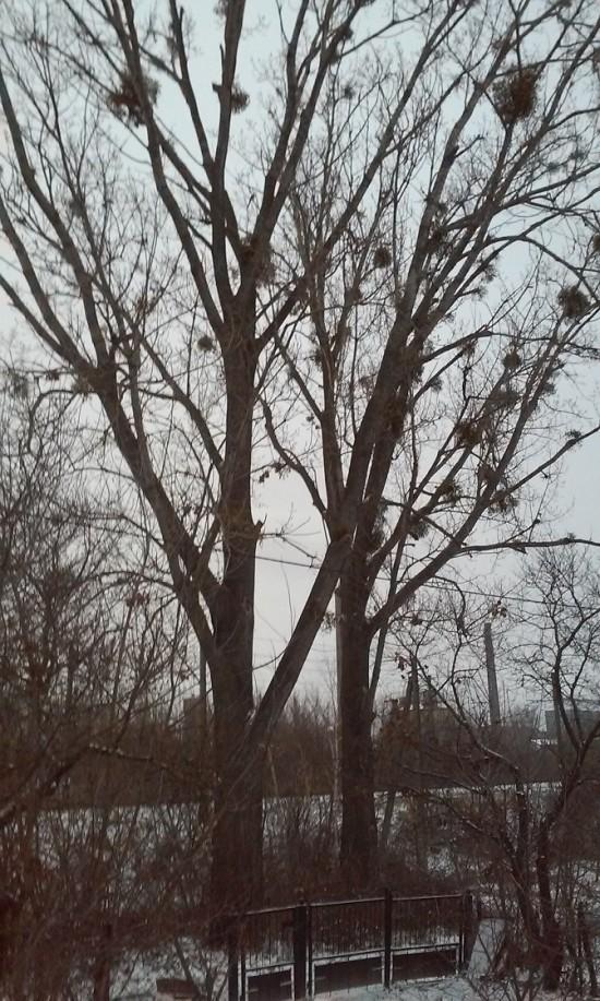 дерева Віли