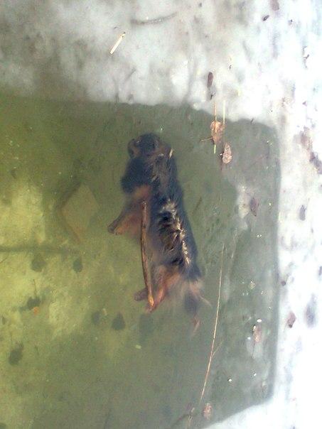 собака у воді